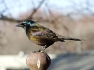 Common Grackle (7)