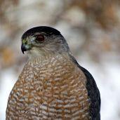 Cooper's Hawk (1)