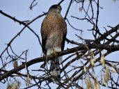 Cooper's Hawk (3)