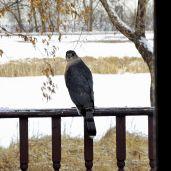 Cooper's Hawk (4)