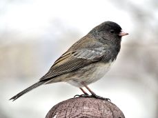 Dark-eyed Junco (1)