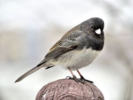 Dark-eyed Junco (2)