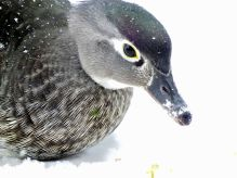 Female Wood Duck on deck (1)