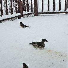 Female Wood Duck on deck with robins
