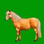 Palomino pony
