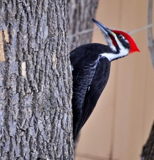 Pileated Woodpecker 2