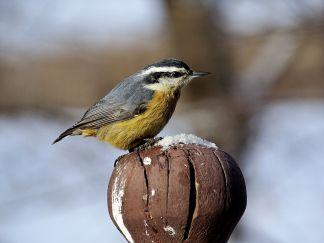 Red-breasted Nuthatch (1)