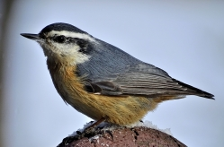 Red-breasted Nuthatch (2)