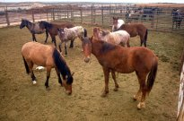 penned ponies