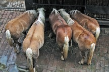 ponies sharing a stall