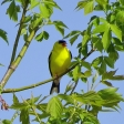 American Goldfinch - male (2)