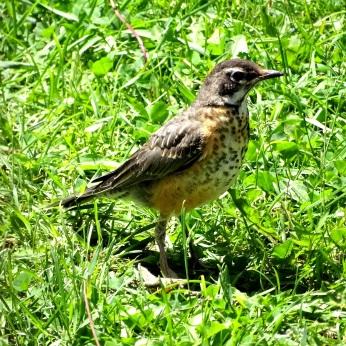 American Robin fledgling (1)