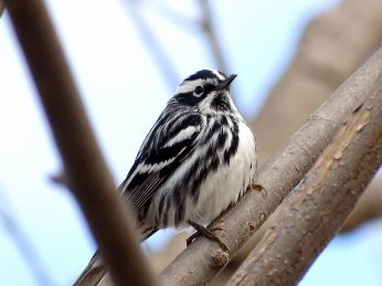 Black-and-white Warbler (3)