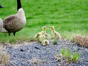 Canada Geese (3)