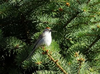 Chipping Sparrow (4)