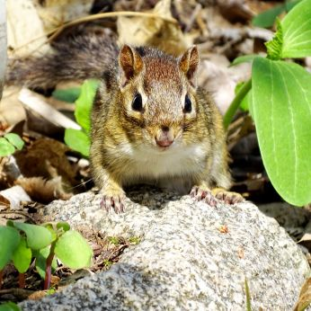 Eastern Chipmunk (1)
