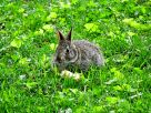 Eastern Cottontail baby (1)