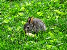 Eastern Cottontail baby (2)