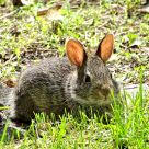 Eastern Cottontail baby (3)