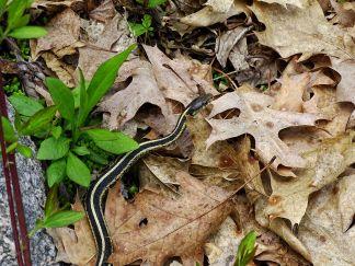 Garter Snake (4)