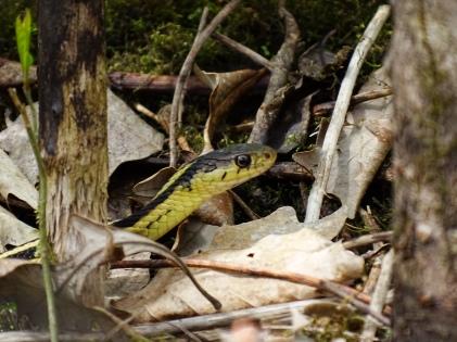 Garter Snake (7)
