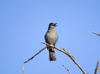 Gray Catbird (5)