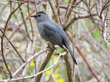 Gray Catbird (6)