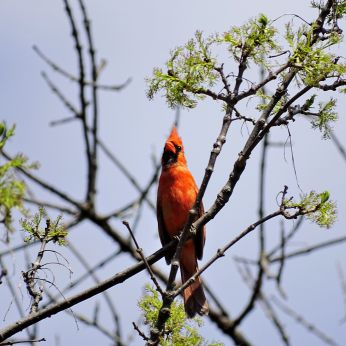Northern Cardinal - male (5)