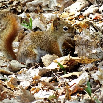 Red Squirrel (1)