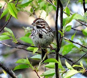Song Sparrow (4)