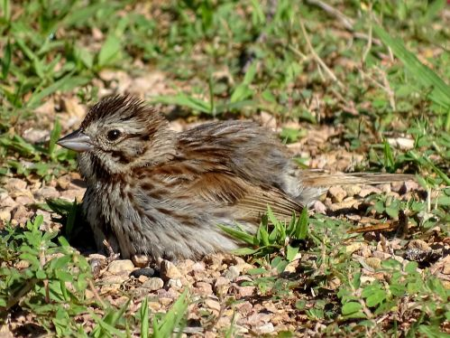 Song Sparrow taking a dust bath