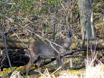 White-tailed Deer (3)