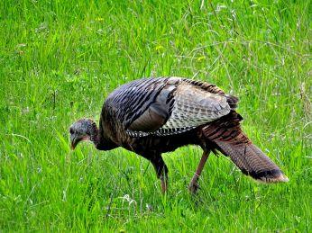 Wild Turkey (1)