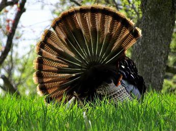 Wild Turkey (3)