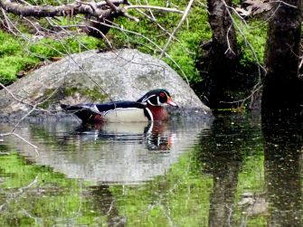 Wood Duck - male (2)