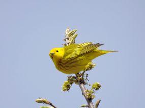 Yellow Warbler (2)