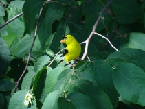 American Goldfinch male in tree
