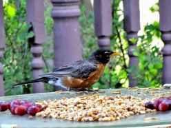 American Robin adult on table