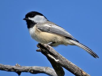 Black-capped Chickadee (4)