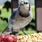 Blue Jay (1)