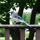 Blue Jay (4)