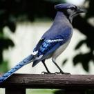 Blue Jay (5)