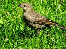 Brown-headed Cowbird fledgling (2)