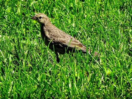 Brown-headed Cowbird fledgling (3)