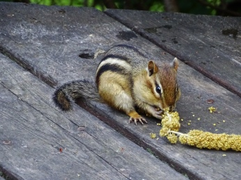 Eastern Chipmunk with millet spray