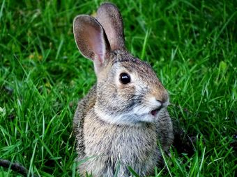 Eastern Cottontail talking