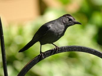 Gray Catbird (2)