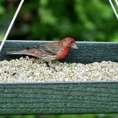 House Finch (4)