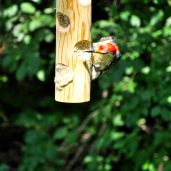 Red-bellied Woodpecker (1)