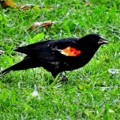 Red-winged Blackbird (4)